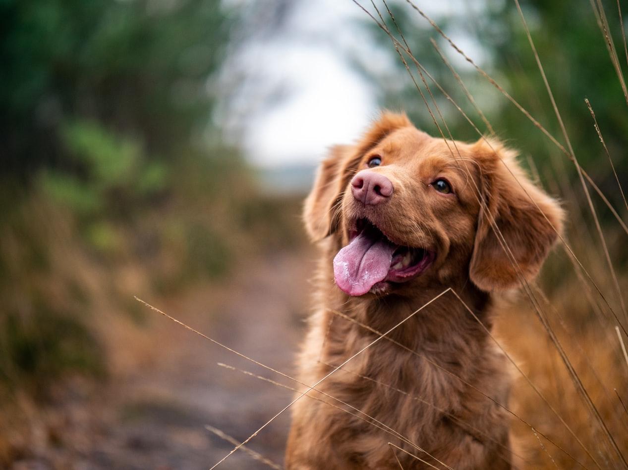 Comment les chiens peuvent aider à détecter les tumeurs du cancer de la prostate plus tôt
